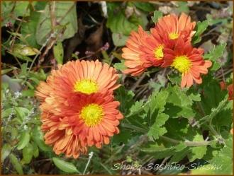 20161205  菊  3   晩秋の花と実