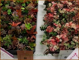 20170207  多肉  6   花の展覧会