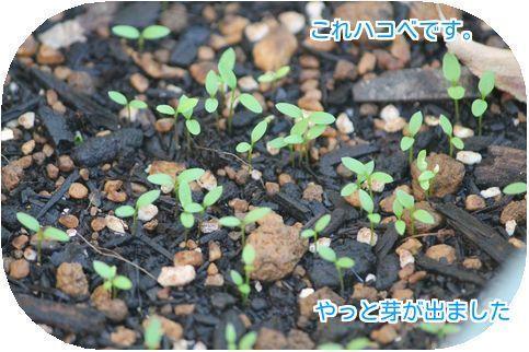 ⑤ハコベの芽