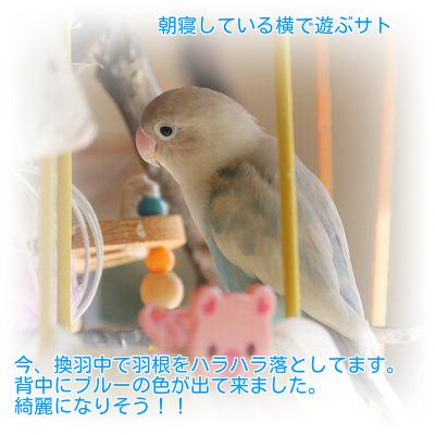 ②サトの換羽