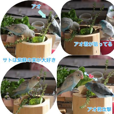 ④紫蘇の実