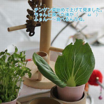 ②チンゲン菜