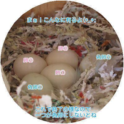 ④卵3個偽卵2個