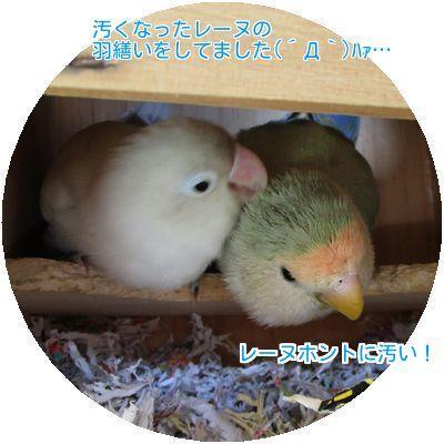 ⑥レーヌの羽繕い