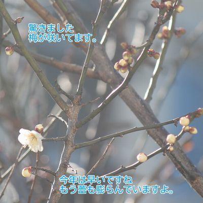 ⑥梅が咲きました