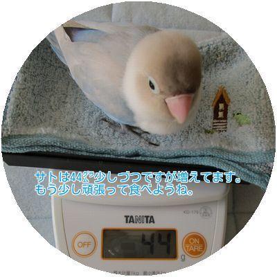 ⑪サトの体重
