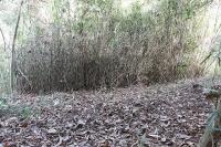 密集する篠竹