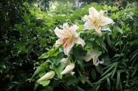 ヤマユリの開花