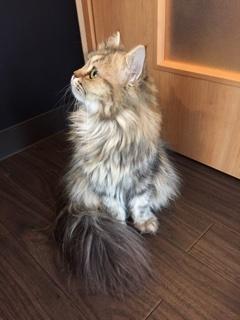 猫カフェのにゃんこ