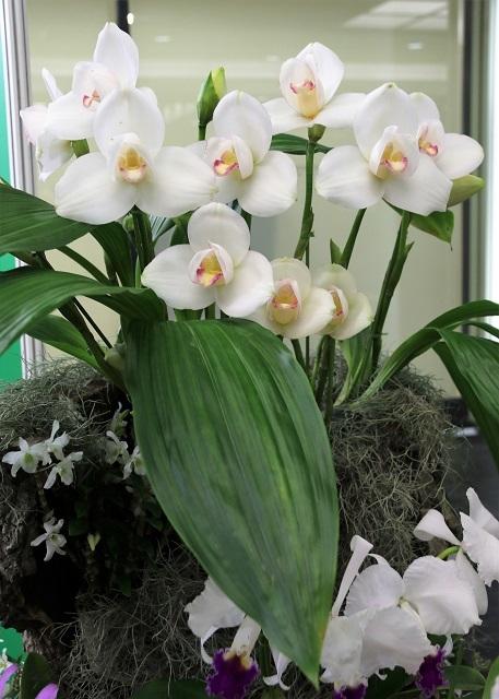 白花のリカステ