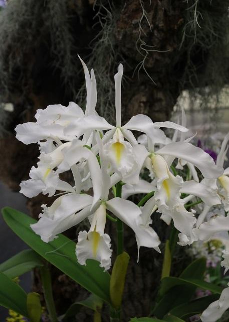 白花のマキシマ