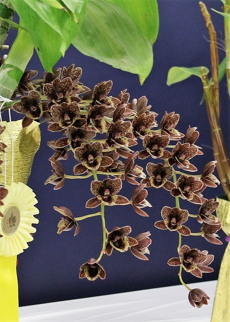 "Fdk.After Dark ""Sunset Valley Orchid Black Pearl"""