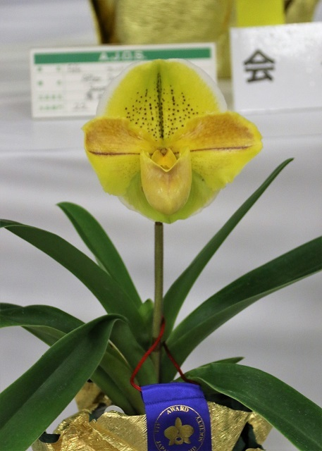 "Paph.Kings Forest ""Aurora"""