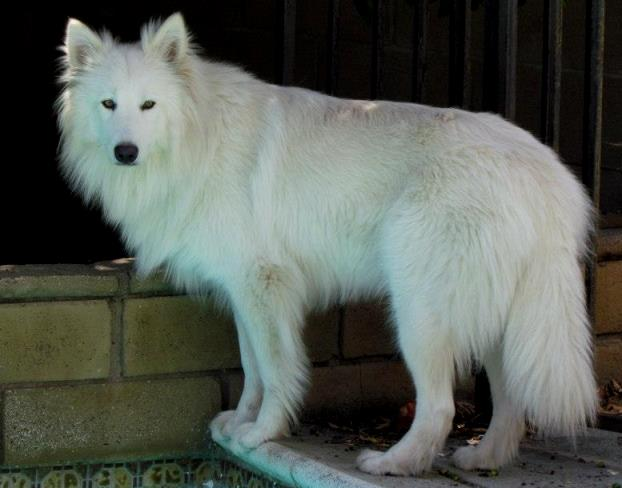 white wolf01