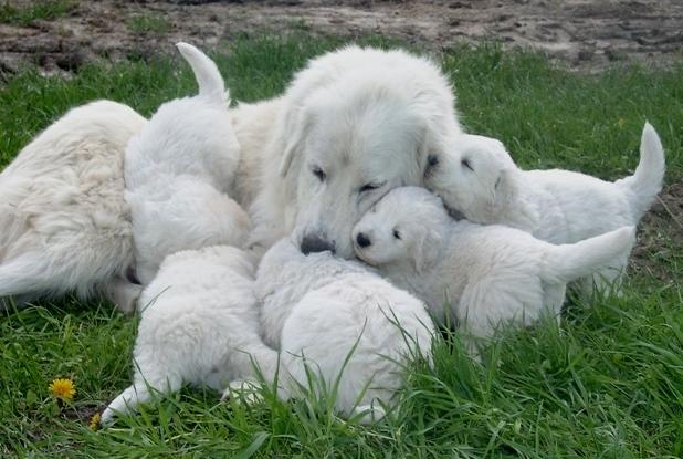 MaremmaSheepdog (4)