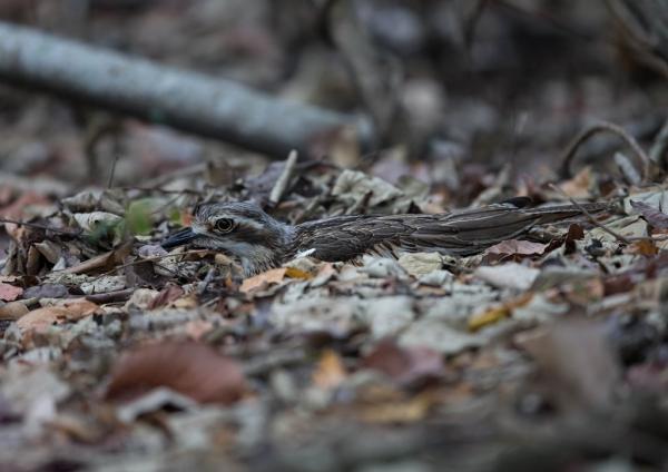 オーストラリアイシチドリ1