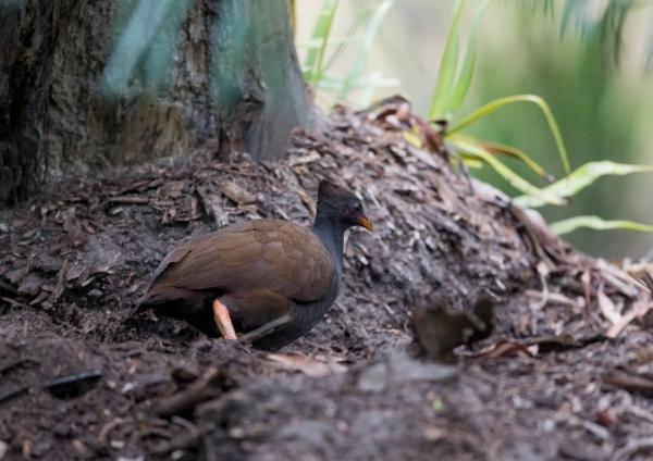 オーストラリアツカツクリ2