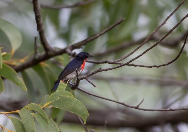 ヤドリギハナドリ1