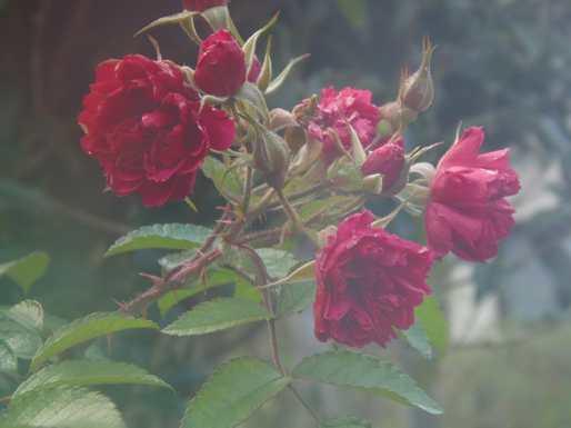 20161220 冬のバラ