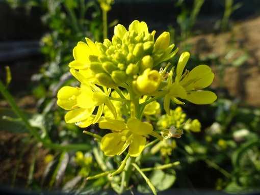 20170201 菜の花