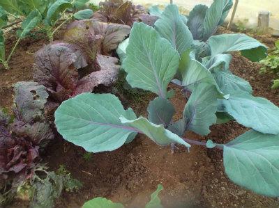 11.16紫キャベツ・白菜