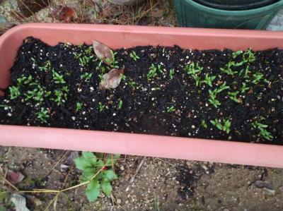 11.19コリアンダーの芽が出た