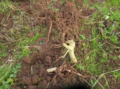11.30掘り起こしたオクラの根