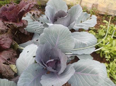 12.10紫キャベツ