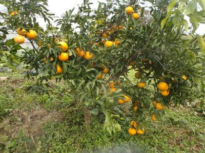 12.10清美オレンジ