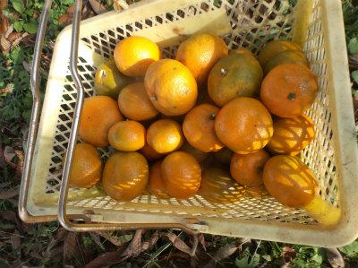 12.18ミカン収穫