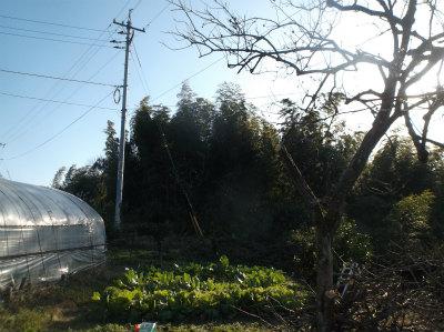 12.25柿の木伐採1