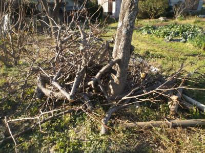 12.25柿の木伐採2