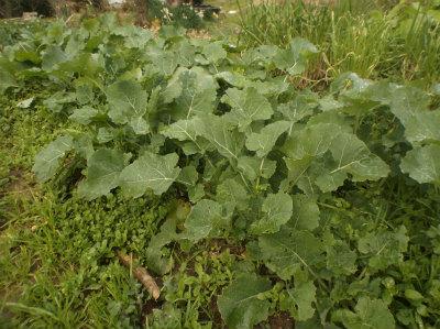 12.30露地ののらぼう菜