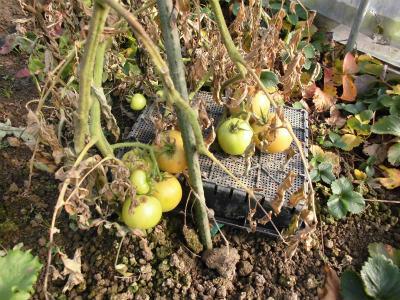 1.21トマトが寒さでダウン