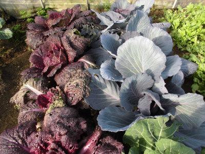 1.21紫キャベツ・白菜