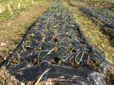 2.4タマネギの草取りと追肥