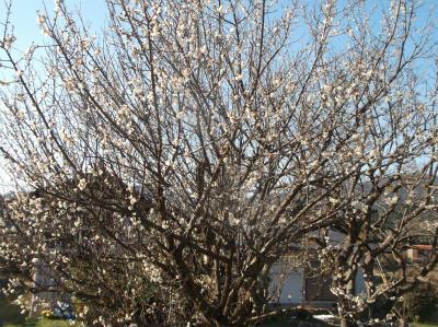 2.4梅が咲いていた