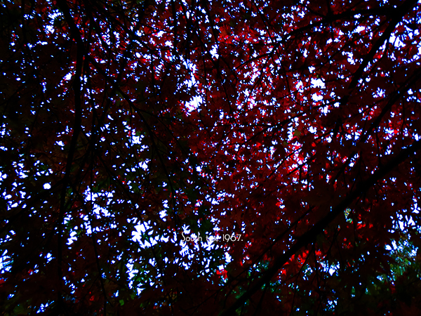 20161119紅葉ブログ用2