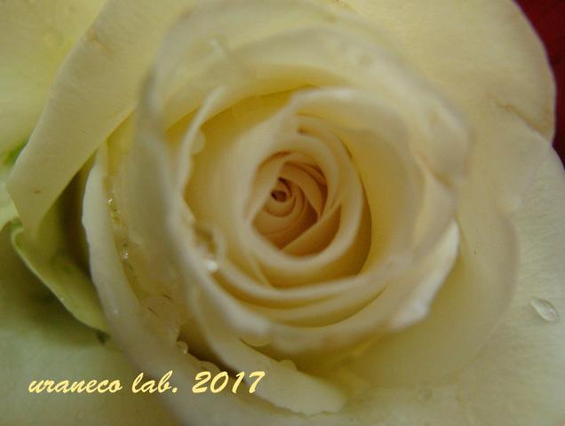 1月2日薔薇2
