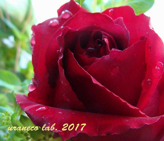 1月2日薔薇