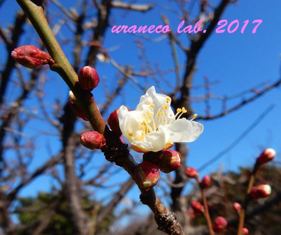 1月5日梅咲く2
