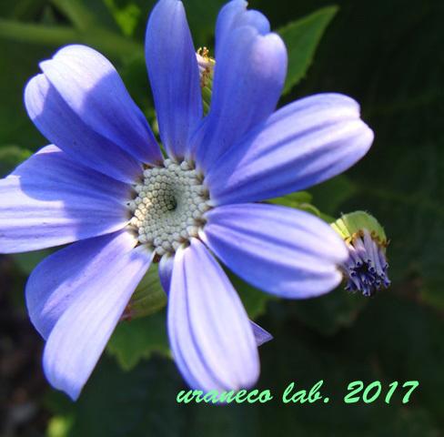 1月16日紫色開花