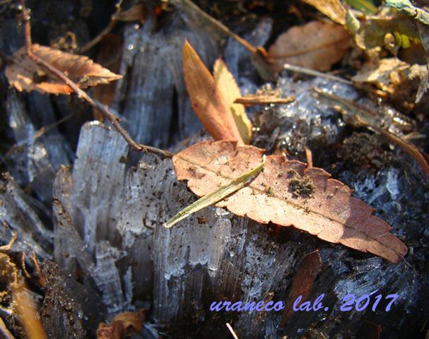 1月19日霜柱
