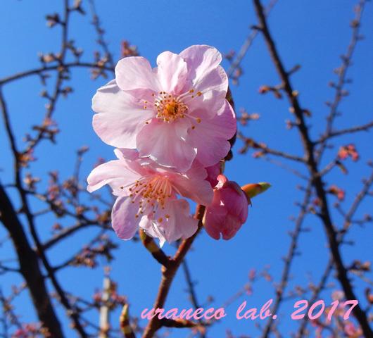 1月26日寒桜2