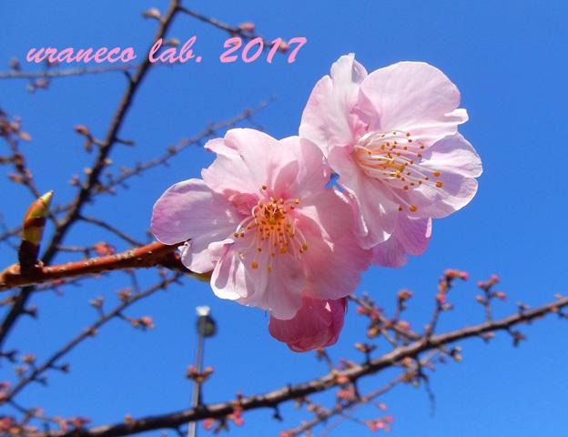 1月26日寒桜