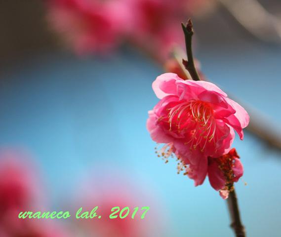 2月2日桃色梅2