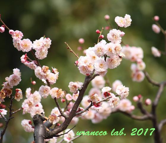 2月2日桃色梅