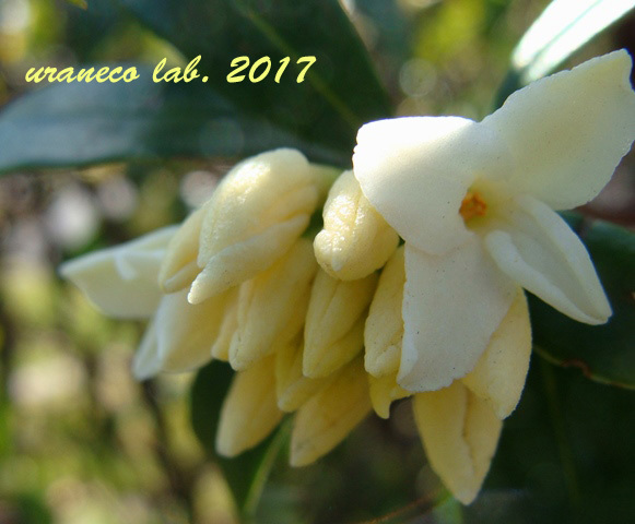 2月6日白い沈丁花