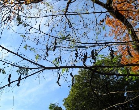 IMG_9375サイカチの木