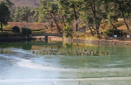 014瓢箪池の鴨
